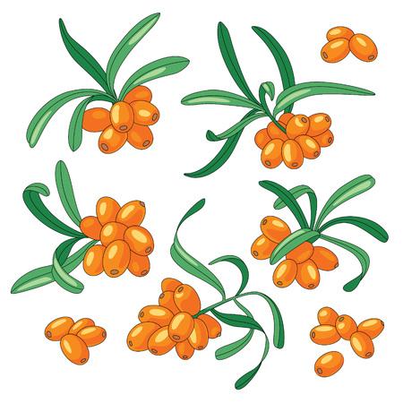 Branches de l'argousier sur fond blanc. Ensemble d'illustrations vectorielles. Vecteurs