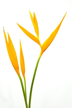 Bird of Paradise. photo
