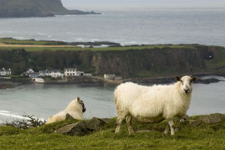 Irish sheeps in green meadow with Giants Causeway cliffs as background photo