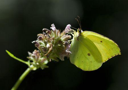 Gonepteryx rhamni feeding on flower against black background photo
