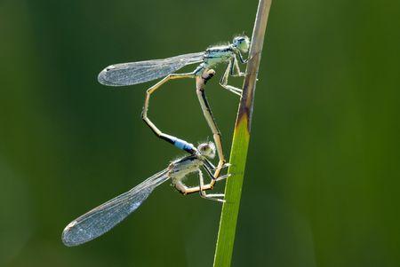 copulate: Macro of two dragonflies copulating on stalking