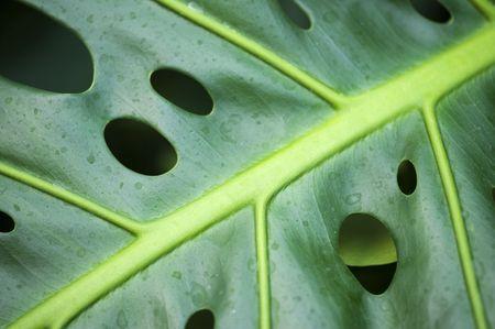 Extreme Nahaufnahme von Philodendron Blatt mit Tropfen Lizenzfreie Bilder - 5895864