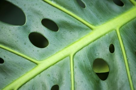 Extreme Nahaufnahme von Philodendron Blatt mit Tropfen Stockfoto - 5895864