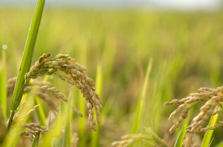 farmlands: Close up in golden rice field  Stock Photo