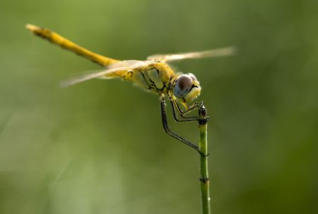 Dragonfly with gold wings in green background photo