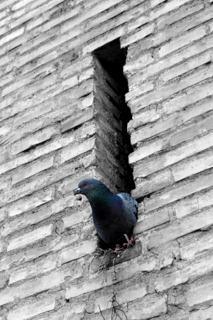 pigeon inside the wall, watching outside world photo