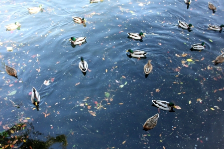 mated: Many ducks on the lake, with different direction  Stock Photo