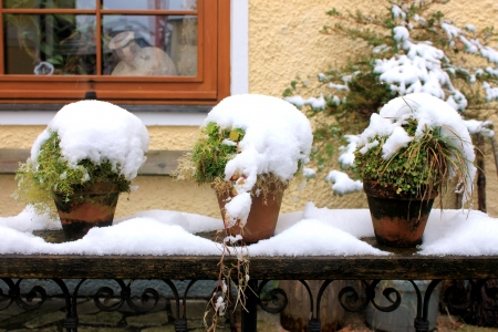 Three potted plants with snow  免版税图像
