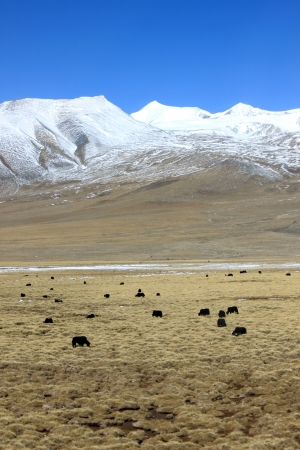 characteristic: View of Qinghai-Tibet Plateau, included the characteristic element, included grassland, snow mountain and yak