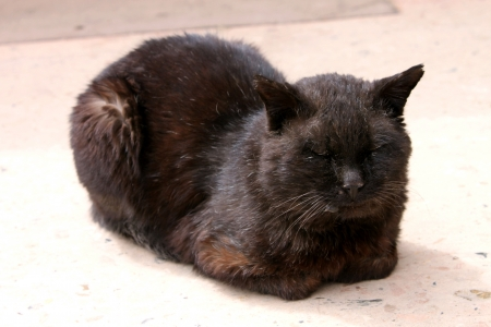 unkind: a Tibetan black cat is taking nap, fat and lovely