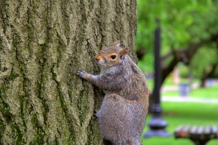 boston common: squirrel in Boston Common Stock Photo