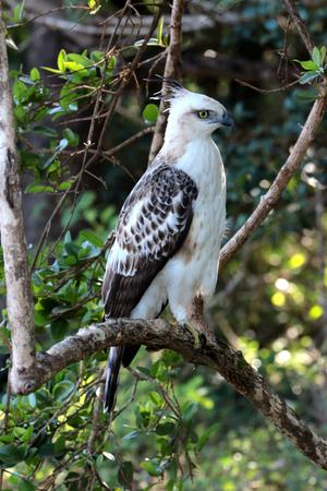 Crested Hawk-Eagle in Yala national park