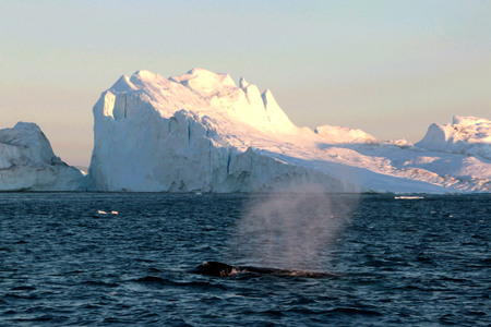 icefjord: Whale watching in a Ilulissat midnight Stock Photo
