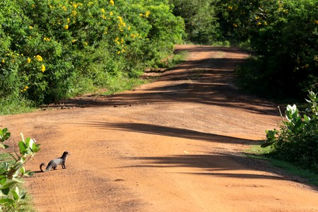 Mongoose is watching its road