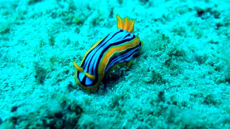 sea slug in Sri lanka underwater
