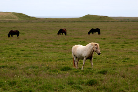 the wild horse in Icelandic country