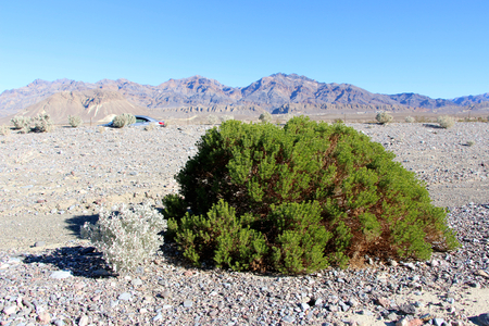 survives: A shrub survives in the harsh landscape of a desert sand dune in Death Valley National Park, California. Stock Photo