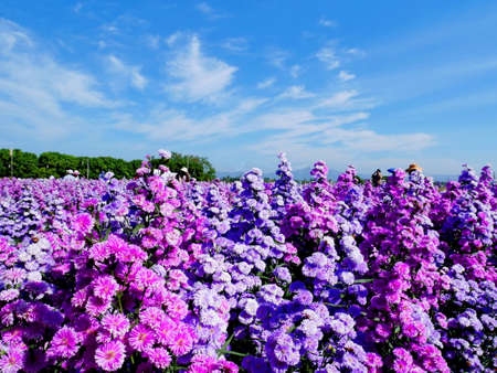 margaret flower plantation,the purple petal farm with blue sky background.