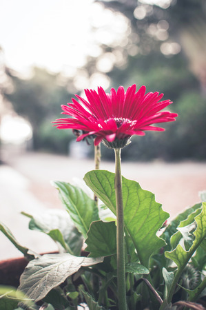 abloom: Gerbera Flower on Bokeh Background Stock Photo