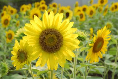 back lighting: sunflowers in back lighting at the garden Stock Photo