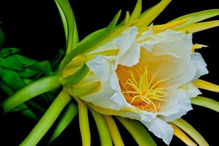 Dragon fruit Stock Photo - 10242946