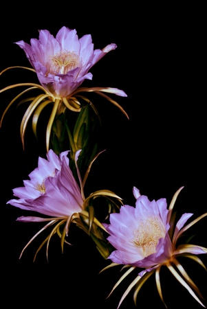 Dragon fruit, flowers will bloom at night and morning. photo