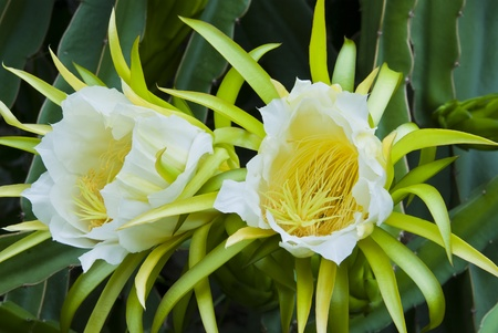 Dragon fruit, flowers will bloom at night and morning. Stock Photo - 11176955