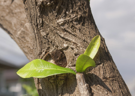 New top leaves sprouting from brown bark of old trunk Stock Photo