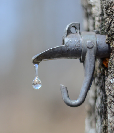 sugary maple water dropping from a spout tapped in a tree, magnifying the trees in the background. Imagens