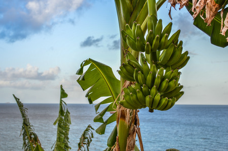 plantain: a bunch of banana plantain Stock Photo
