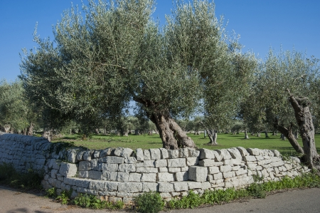 olive green: country landscape with olive tree in sicily  Stock Photo