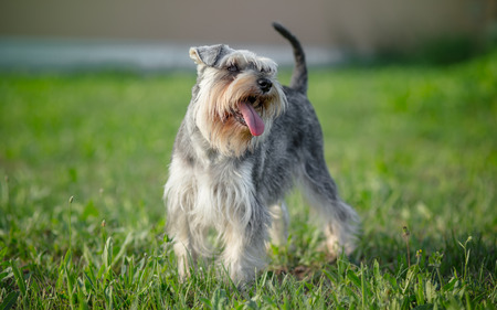 miniature schnauzer dog outdoor portrait Stock Photo