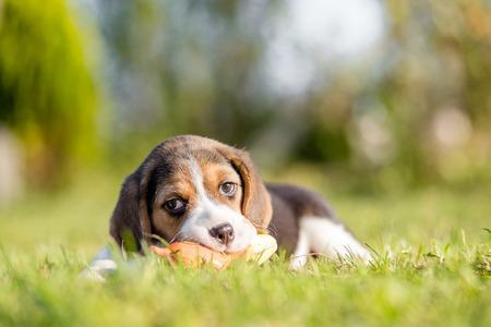 ビーグルは緑の芝生でおもちゃで遊んでいます。 写真素材