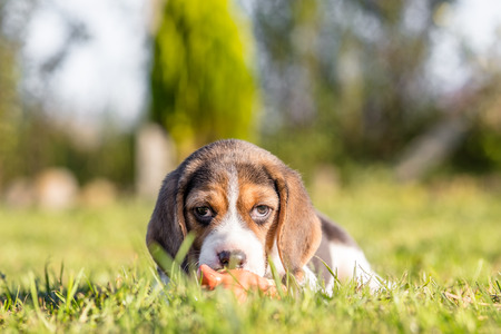 Beagle puppy playing with toy outdoor Standard-Bild