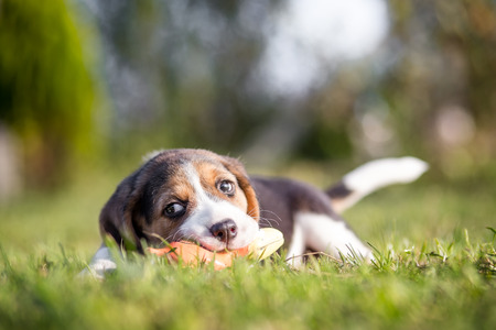 Happy beagle puppy playing with toy