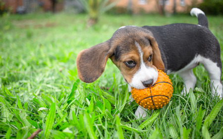 Beagle puppy playing with ball photo