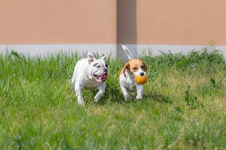 ビーグル犬とボールで遊ぶブルドッグ