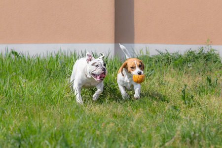 Beagle and bulldog playing with ball