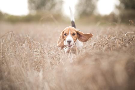Beagle dog running in nature
