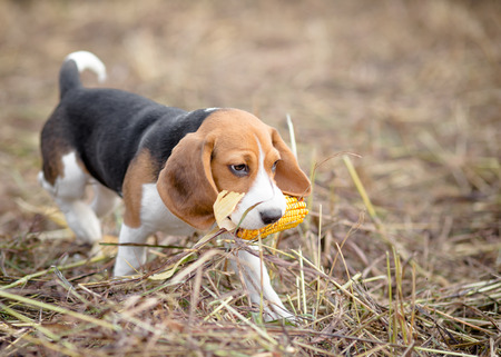 Beagle puppy playing with a corn in its mouth photo