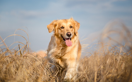 golden: Golden retriever dog running outdoor