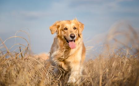 perro corriendo: Perro perdiguero de oro al aire libre corriendo Foto de archivo
