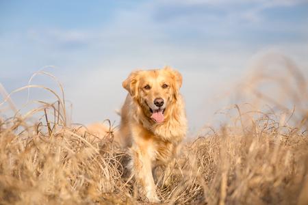 fields and meadows: Golden retriever dog running outdoor
