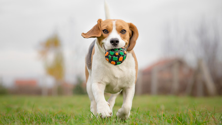 Beagle dog running with ball
