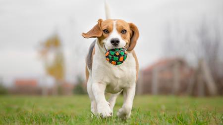 ボールを持って走っているビーグル犬