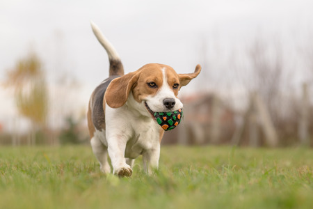 beagle dog running outdoor with ball in mouth