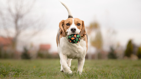 fetch: Teaching Your Dog to Play Fetch - Beagle