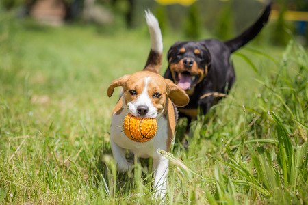 Two dogs chasing a ball Stock Photo