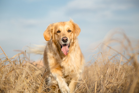 pure breed: Golden retriever dog outdoor portrait