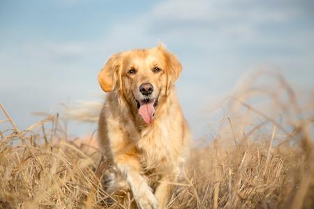Golden retriever dog outdoor portrait